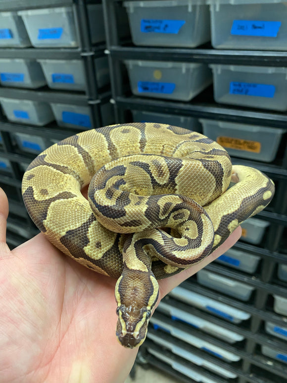 Male Scaless Head Enchi Lucifer Het Pied Ball Python
