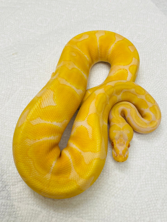Pastel Albino Super Enchi (Female)