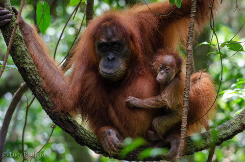 Mother & baby orangutan in the jungle