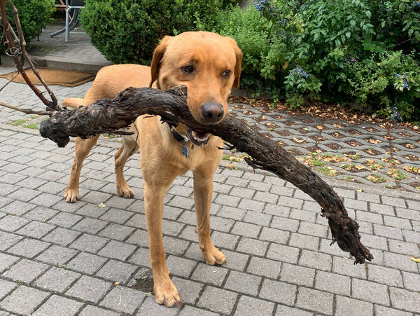 Blue retrieves a vine branch