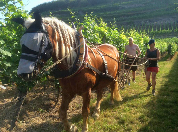 At Dr Heger they use a horse called Willi to work some of the vineyards.