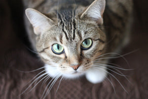 Transitioning Your Cat's Food with Cat Treats