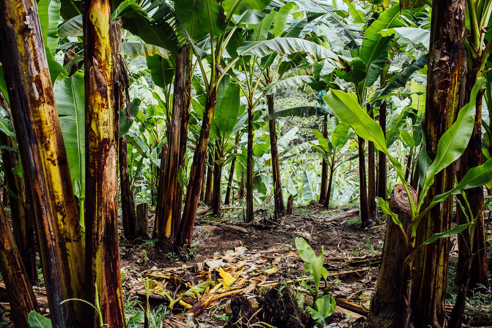 Agroforestry produces the best cacao in the world Article