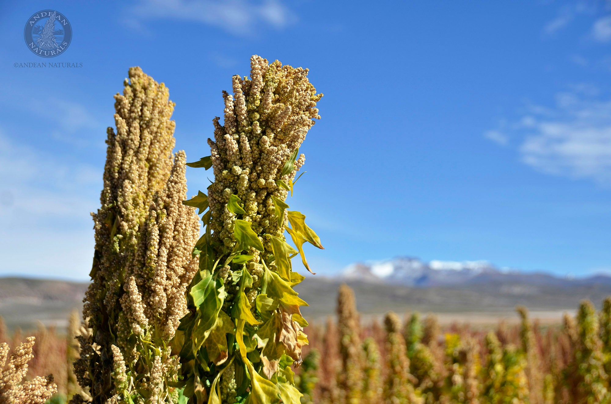 Quinoa: Easier Than you Think – Alter Eco