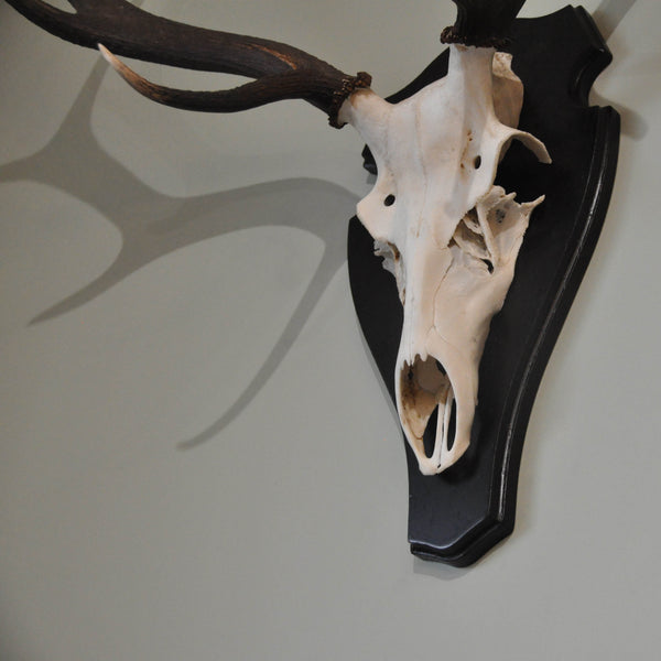Mounted Stag Antlers