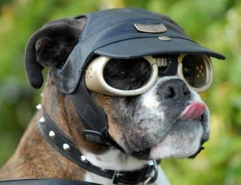 dogs in sunglasses product model 3