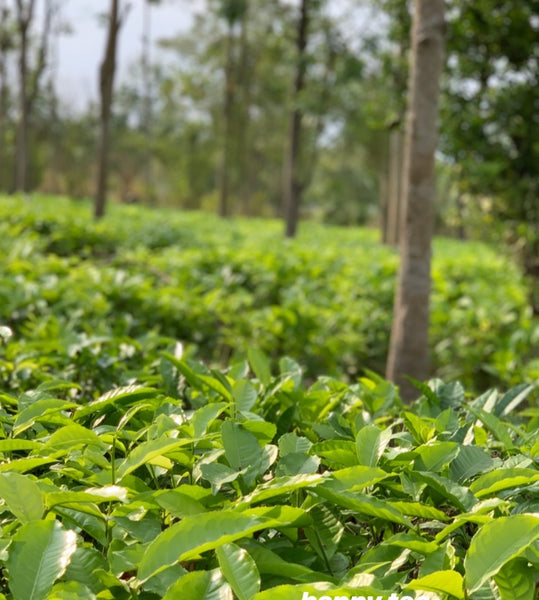 Assam Heritage tea fields