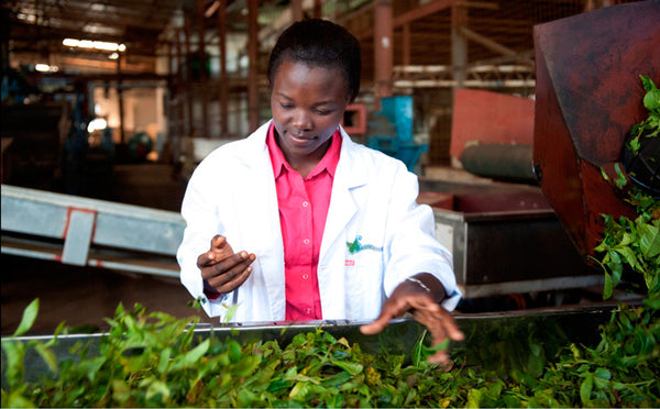 Satemwa staff inspects fresh tea leaves at Malawi's Fair Trade Satemwa Estate