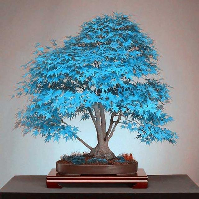 Japanese Bonsai Maple Tree Seeds (20 seeds)