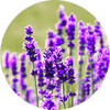 Lavender Ingredient