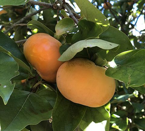 Preston's Orchard and the magic of persimmons