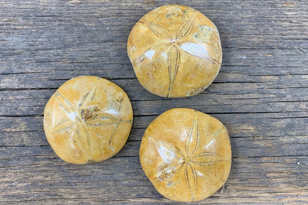 Fossilized Sand Dollar - Zero Point Crystals