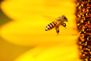 A honey bee flying in front of a yellow flower