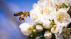 A honey bee pollinating white blossom