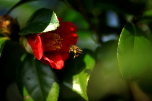 A red camellia flower, you can find this oil in bee yü natural skincare