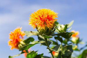 Orange Safflower flowers