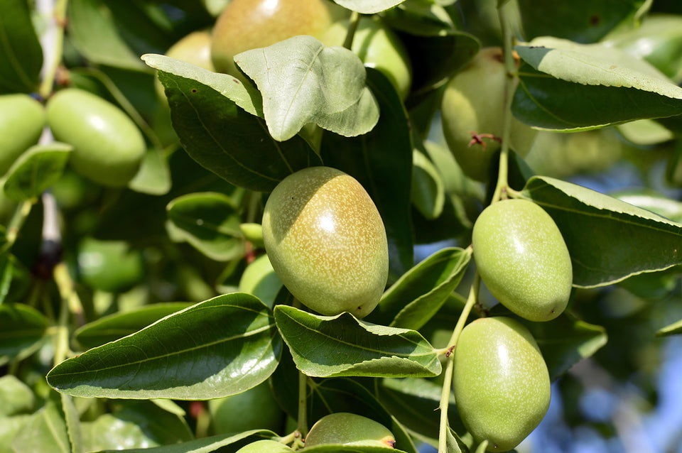 Jojoba seeds on the plant; nature's natural moisturiser