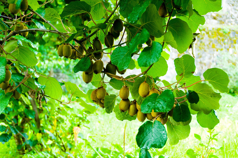 Kiwi fruits hanging on the tree