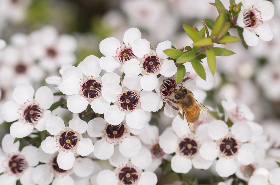 A honey bee on manuka blossom