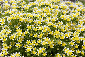 Yellow and white meadowfoam flowers
