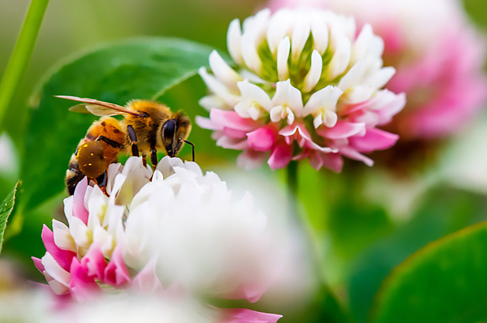 A honey bee on a clover flower