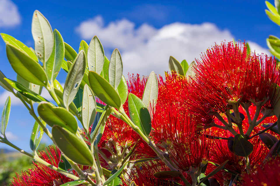 Pohutakawa red flowers and leaves used in bee yü skincare