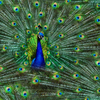 Hoffman Proud As A Peacock - Peacock Digital Print - Designer Cotton