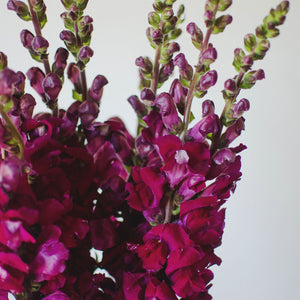 Snapdragon - Burgundy  - Bunch