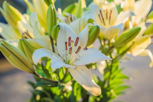 Lilies - Asiatic - White  - Bunch