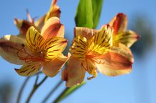 Alstroemeria - Orange