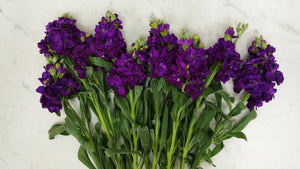 Stock - Purple  - Bunch