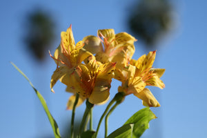 Alstroemeria - Yellow
