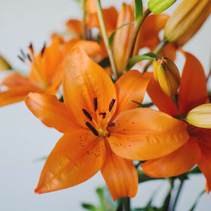 Lilies - Asiatic - Orange  - Bunch