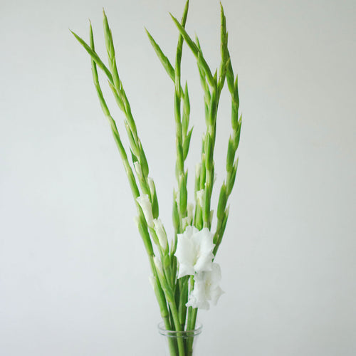 Gladiolus - White  - Bunch