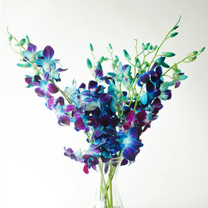 Orchids - Dendrobiums - Bombay Dyed Blue  - Bunch