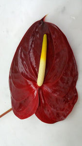 Anthurium - Dark Red