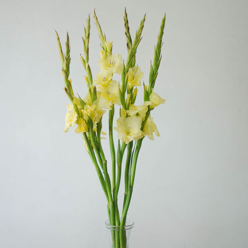 Gladiolus - Yellow  - Bunch