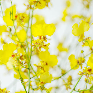 Orchids - Oncidium  - Bunch