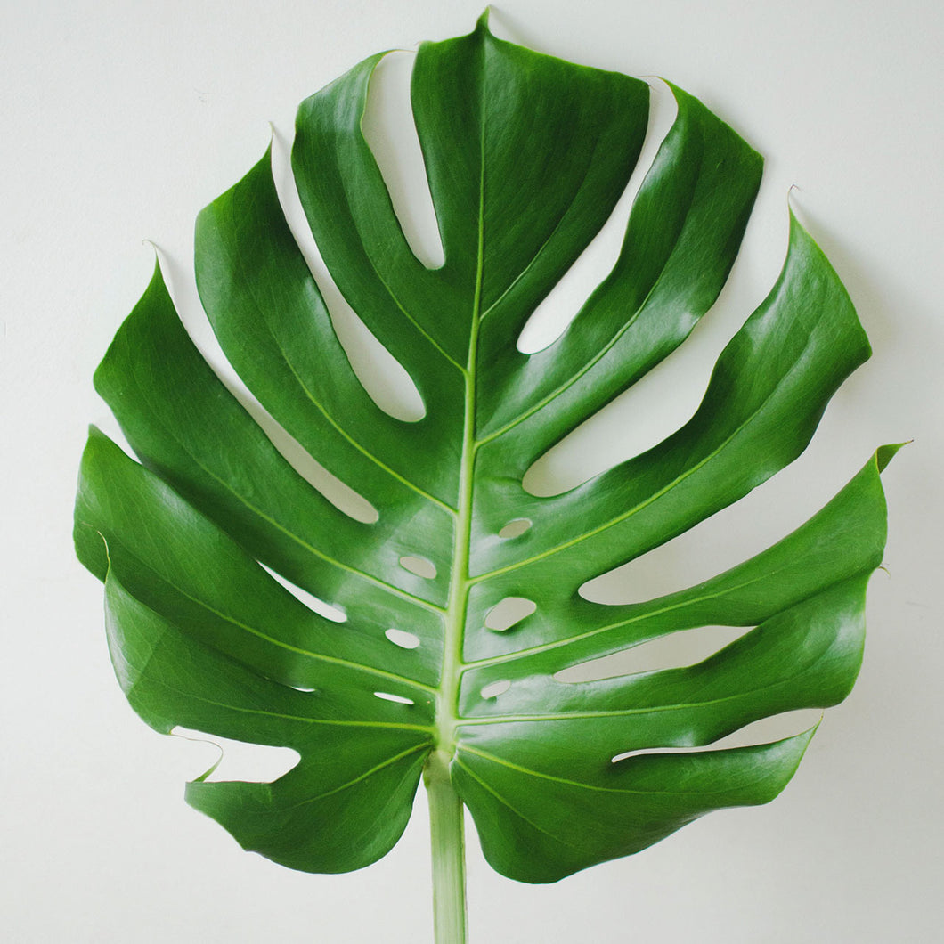 Greens - Monstera  - Bunch