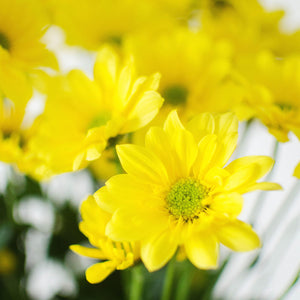 Pom Poms - Daisy - Yellow  - Bunch