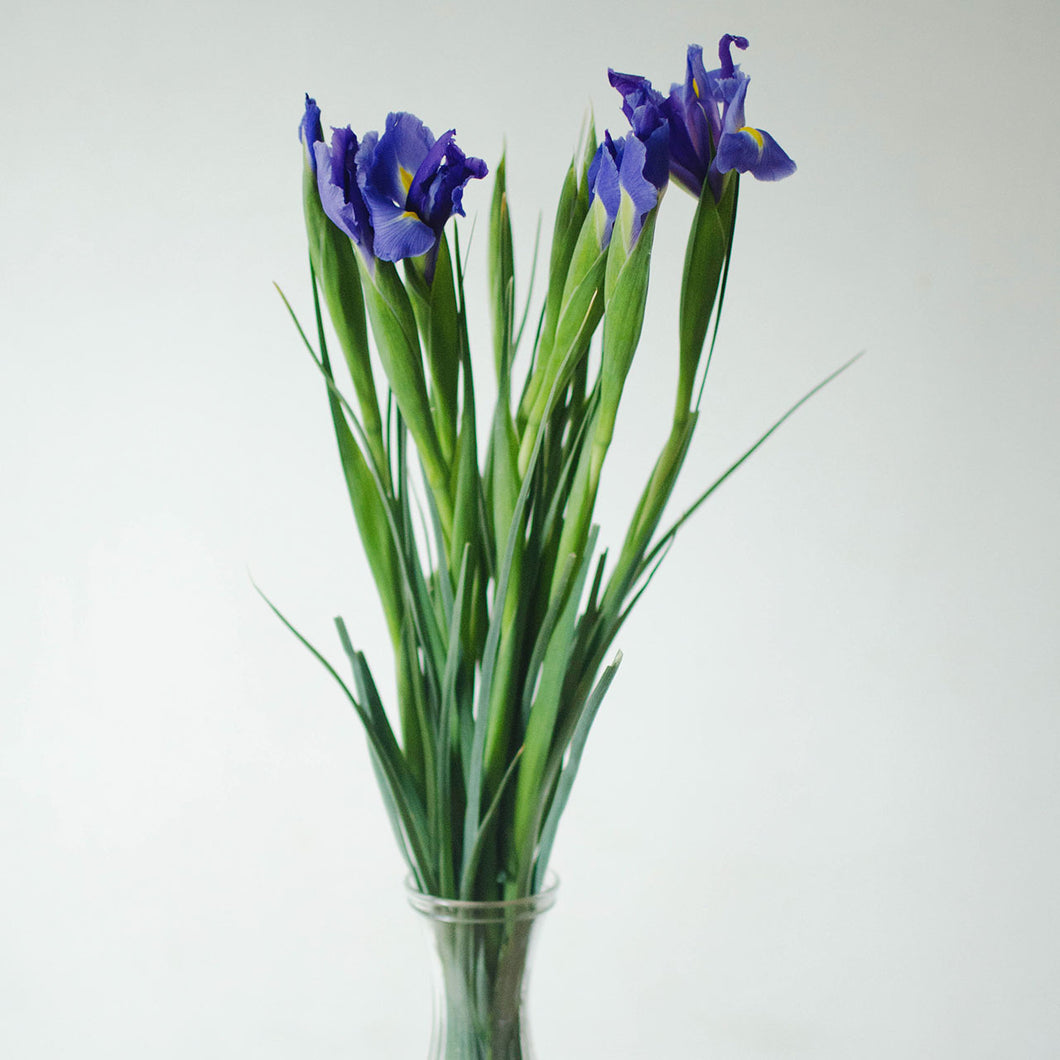 Iris - Dark Blue  - Bunch
