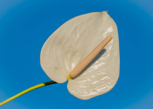 Anthurium - White