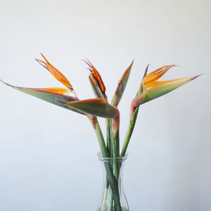 Bird Of Paradise  - Bunch
