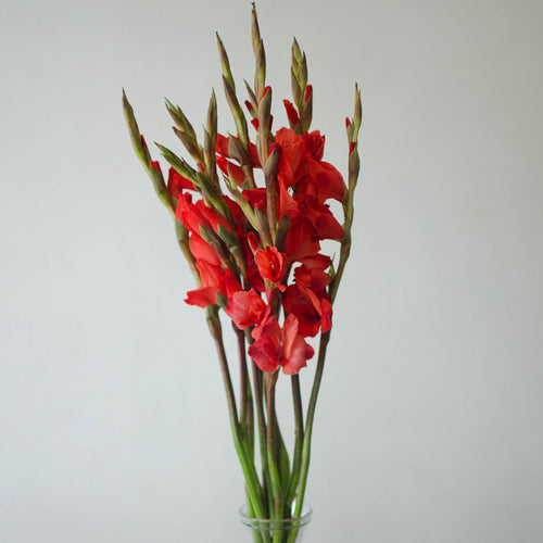 Gladiolus - Red  - Bunch