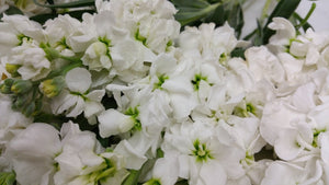 Stock - White  - Bunch