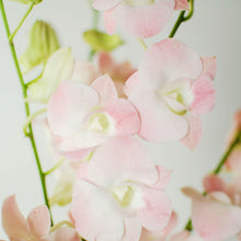 Orchids - Dendrobiums - Suree  - Bunch