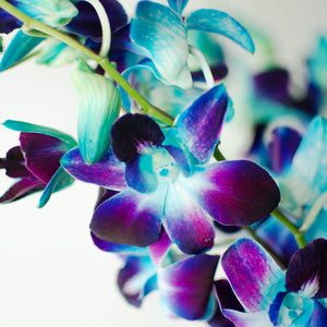 Orchids - Loose Blooms - Bom Blue
