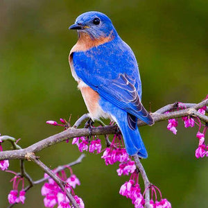 Eastern Bluebird Houses