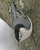 White-Breasted Nuthatched