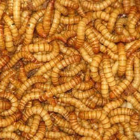 "Bulk Live Mealworms - 500 count (Large - 1"")?? - World of Birdhouses"